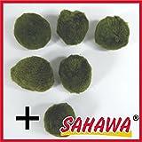 Mooskugeln im Set, Cladophora aegagropila, Cladophora-Ball , Marimo, Algenball, Wasserfplanzen von SAHAWA® (Set 2 (5+1))