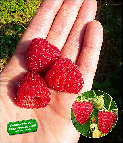 """BALDUR-Garten Himbeere Enrosadira®""""Endlosernte"""" winterhart, 2 Pflanzen Dauerernte"""