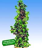 BALDUR-Garten Säulen-Brombeeren Navaho 'Big&Early' dornenlos, 1 Pflanze Rubus fruticosa Säulenobst Beerenobst Brombeerpflanze