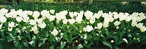 The Poster Corp Panoramic Images - White Tulip Flowers in a Garden Washington State USA Photo Print (91,44 x 30,48 cm)