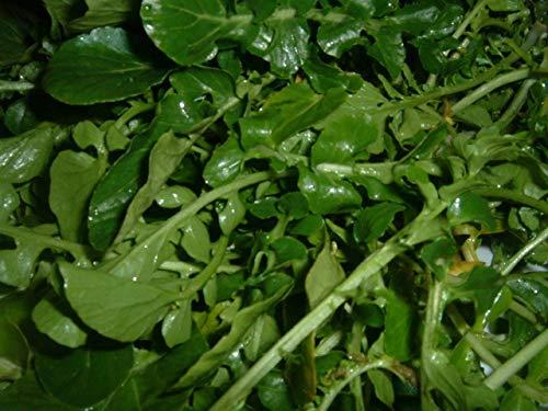 PLAT FIRM GERMINATIONSAMEN: 11.650 Samen (1/8 Unze) - Non GMO Nasturtium Officinale - Brunnenkresse W TRACKING