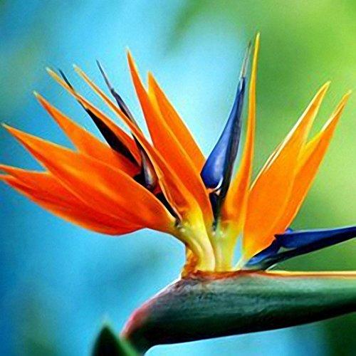 semirosa 50pz semi di strelitzia colorata sementi di uccello del paradiso strelitzia seeds fiori pianta per bonsai balcone giardino