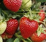 12 x Christine Bare Root Strawberry Plants