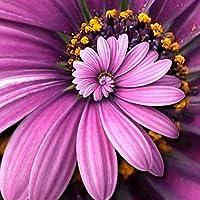 mymotto 30pcs semillas Daisy Bonsai Rare semillas de flores Bellis perennis ornementales flores