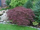 Acer palmatum dissectum atropurpureum RED LACELEAF Japanischer Ahorn-Samen!