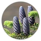 Korea-Tanne/Abies koreana/ca. 50 Samen/winterhart/Bonsai geeignet/Windschutz & Bodenschutz/exklusiver Weihnachtsbaum