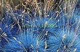 Pinkdose 100 semi pezzi festuca viola Fesnea Glauca Erba ornamentale Semi rari copertura zucca Semi di erbe per il giardino di casa fai da te