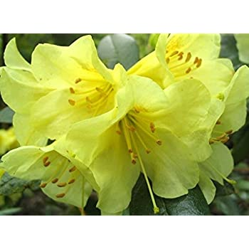 9cm pot dwarf rhododendron teal clear yellow flowers garden shrub 9cm pot dwarf rhododendron teal clear yellow flowers garden shrub plant mightylinksfo