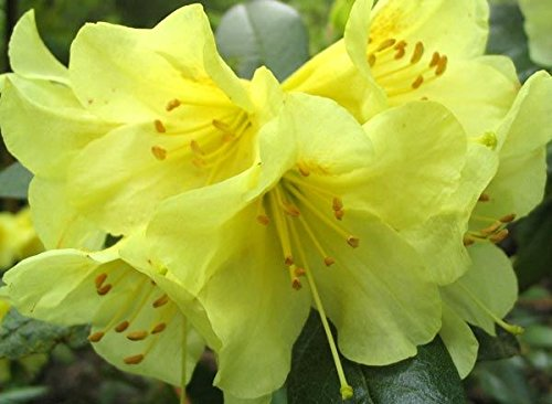 9cm-pot-dwarf-rhododendron-teal-clear-yellow-flowers-garden-shrub-plant