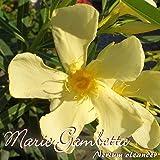 Oleander 'Marie Gambetta'