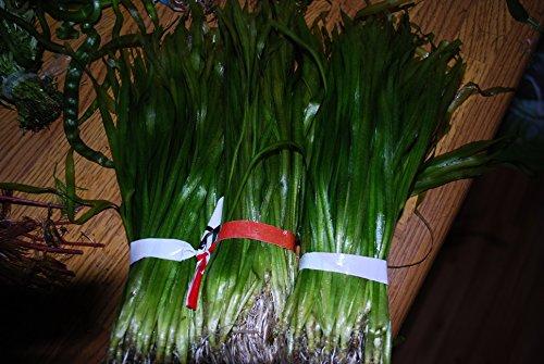 Biotope Aquatics Ltd - 50 Live Aquarium Plants Tropical Aquatic Plants for your fish tank - rooted and stems 9
