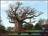 Portal Cool ?? Adansonia ? ? Semillas Madagscariensis Baobab Tree House Plant Bonsai Caudex ?6