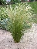 Stipa tenuissima 'Pony Tails' 1 Liter (Ziergras/Gräser/Stauden) Federgras ab 3,19 € pro Stück