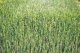 Brotes de alfalfa, herencia, orgánico, no-GMO, 500 semillas Brote de alfalfa