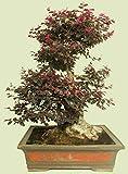 Portal Cool Loropetalum chinense Var. Rubrum 'Daruma' Exotic Seed Bonsai pianta rara -5 Seeds