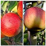 2er Set Apfelbaum Cox Orange + Elstar zweijährig Winterapfel Buschbaum 120-150 cm + 1 P. Dünger M7