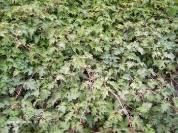 10 Stk. Stephanandra incisa 'Crispa' - (Niedrige Kranzspiere 'Crispa')- Topfware 20-30 cm