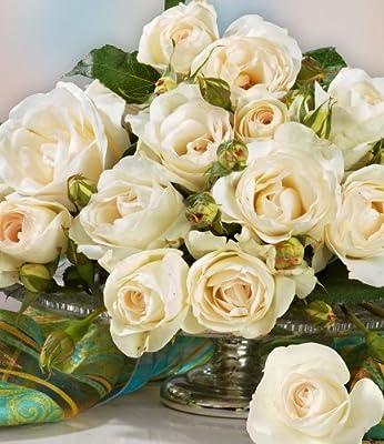Delbard® Parfum-Rosen 'Grand Nord®', 1 Pflanze Duftrosen Edelrose von Delbard auf Du und dein Garten