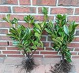 40 Kirschlorbeer Pflanzen, 40-50 cm, Prunus Rotundifolia, kräftige Heckenpflanzen