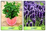 Herb 2 In 1 Combo Lemon Balm, Lavender Herb Seeds Combo Pack By Creative Farmer