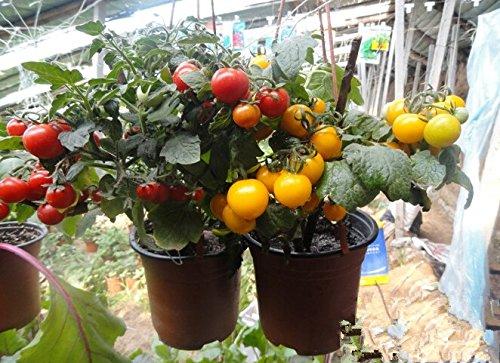 100 pcs Précipité New Plantes d'extérieur Promotion Jardin semences de tomates en pot fruits Bonsai Balcon de semences de légumes 8