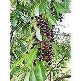 GEOPONICS 30 semillas de fruta de la cereza semilla Prunu erotina Frant Blanca