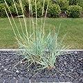 Strandroggen - Leymus arenarius - Ziergras im Topf - auch für Kübel geeignet von Native Plants auf Du und dein Garten