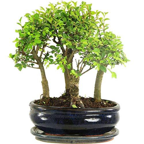 Chinesische Ulme, Bonsai, 8 Jahre, 25cm