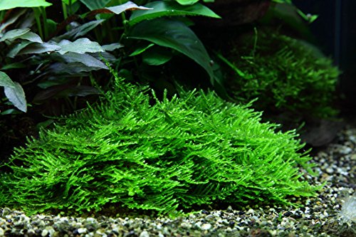 1-2-GROW! Stachelmoos / Taxiphyllum spec. Spiky-Moss