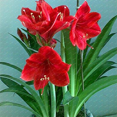 Galleria fotografica piante Big Vero Amaryllis Bulbi Indoor & Outdoor in vaso Fiori, bulbi da fiore tasso di sopravvivenza è alta (non semi) -1 lampadine 7