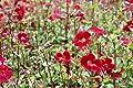 Wasserpflanzen Wolff - Mimulus cupreus 'Roter Kaiser' - Gauklerblume, rot von Wasserpflanzen Wolff - Du und dein Garten