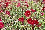 4er-Set im Gratis-Pflanzkorb - Mimulus cupreus 'Roter Kaiser' - Gauklerblume, rot - Wasserpflanzen Wolff