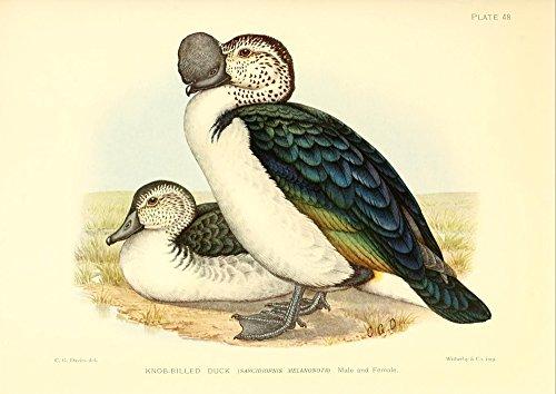 The Poster Corp C.G. Davis - Game-Birds of South Africa 1912 Knob-Billed Duck Kunstdruck (45,72 x 60,96 cm) -