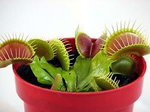 Nooelec Seeds India E Garden Venus Flytrap (Dionaea Muscipula) Carnivorous Plant Seeds 20 Seeds