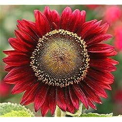 Shopmeeko 40 Stück Riesige Sonnenblume Pflanze Blume Pflanzen Seltene Bonsai Topfpflanzen Bonsai Russische Sonnenblume Pflanzen für Hausgarten Semillas: Hellgelb