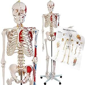 Jago - Modèle Anatomique Squelette Humain Grandeur Nature 181,5 cm Support sur Roulettes et Graphique d'Enseignement Inclus