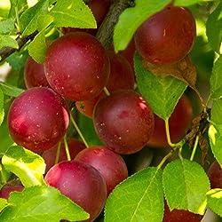 2 Medium: Rote Kirschpflaume Samen oder Stecklinge by Farmerly