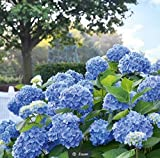 Ultrey Samenshop - Riesen-Schneeball-Hortensie Samen Garten-Hydrangea Saatgut Blumensamen Gartenblumen winterhart mehrjährig für Garten Balkon/Terrasse