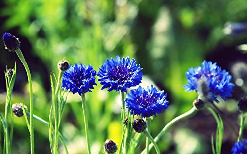 Pinkdose® Pinkdose Blumensamen: Bachelor's Button Garten Balkon Samen für Küche/Terrasse / Poly Haus Garten (10 Pakete) Garten Pflanzensamen von - Bachelor Haus