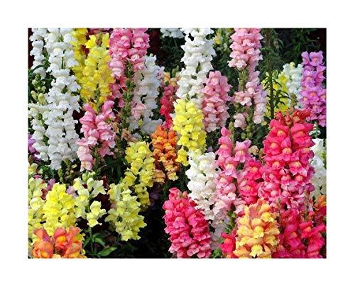 Clematis Samen Immer Blumen Für Blumensträuße Selber Machen Geschenke Für Frauen Blumensträuße Garten & Terrasse