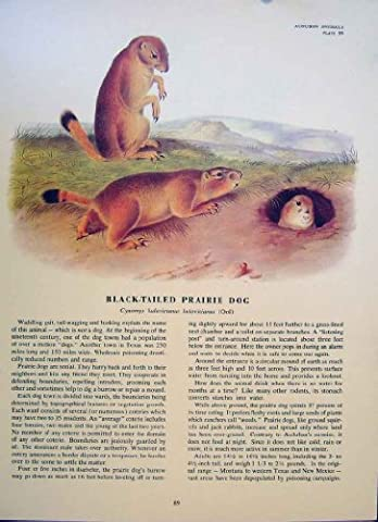 Black Tailed Prairie Dog Rodent Color Antique Print Art