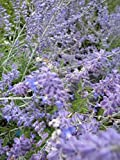 Blauraute Lacey Blue - Perovskia atriplicifolia - Russischer Salbei - Silberstrauch - reichblühend - duftend