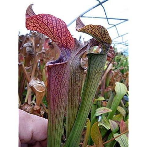 Sarracenia rubra ssp gulfensis giant form - Sarracena, Planta de jarra Norteamericana, Plantas trompeta, Cuerno de caza - 10
