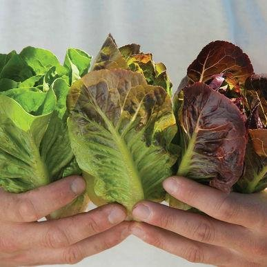 Mini-Romaine Trio ORGANIC Lettuce Seeds 20+ Rare Seeds + FREE Bonus 6 Variety Seed Pack - a $29.95 Value! Packed in FROZEN SEED CAPSULES for Growing Seeds Now or Saving Seeds For Years (Seeds Lettuce Romaine)