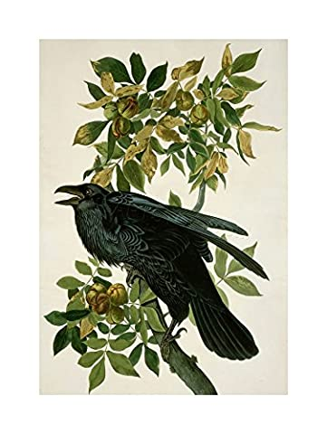 PAINTING NATURE ANIMAL BIRD AUDUBON RAVEN FRAMED PRINT F12X3583