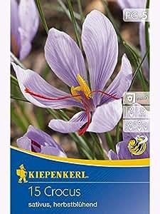 Crocus sativus Safrankrokus lilapurpur dunkel gestreift