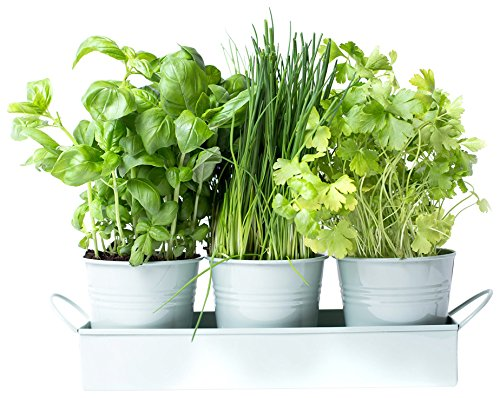 dill-and-mint-dill-herb-pots-on-a-tray