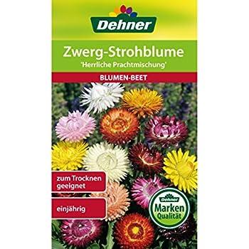 Strohblumen Trocknen strohblumen helichrysum braceteatum ca 200 samen amazon de garten