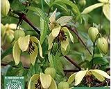Portal Cool Clematis - Korean Beauty - Schnell wachsende Kletterpflanze - Johnsons 35 Samen / 815090