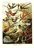 Tafel 99 - Kolibris - aus: Ernst Haeckel - Kunstformen der Natur, 1900 - Nachdruck einer Illustrations-Tafel